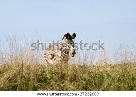 Zebra in meadow - stock photo