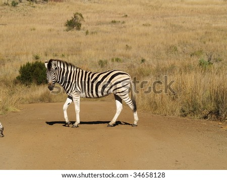 Zebra in middle of road.