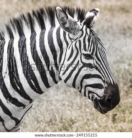 Zebra in National Park. Africa, Kenya - stock photo
