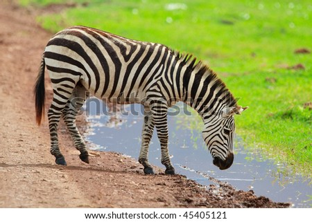 Zebra in Ngorongoro conservation area in Tanzania