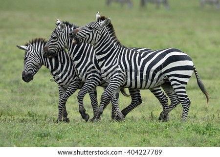 Zebra in Serengeti National Park, Tanzania, East Africa - stock photo
