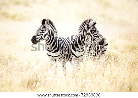 Zebra in South Africa - stock photo