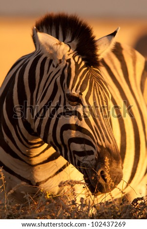 zebra in sunlight - stock photo