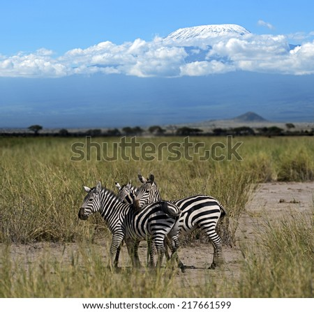 Zebra in the African savannah on summer pasture