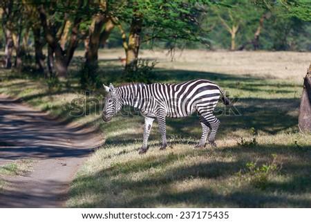 Zebra in the grasslands, Africa - stock photo
