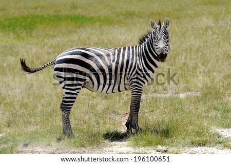 Zebra in the grasslands of the National Park. Africa, Kenya - stock photo