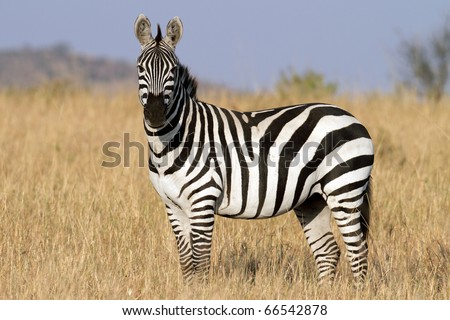 Zebra in the grasslands of the Serengeti at dawn, Tanzania, East Africa - stock photo