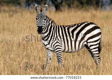 Zebra in the grasslands of the Serengeti National Park, Tanzania, East Africa - stock photo