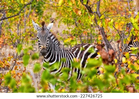 Zebra in the Kruger National Park, South Africa - stock photo