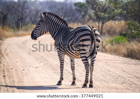 Zebra in the Kruger National park - South Africa - stock photo