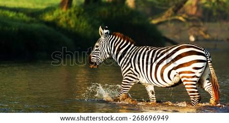 Zebra in the Lake Nakuru National Park in Kenya, Africa - stock photo
