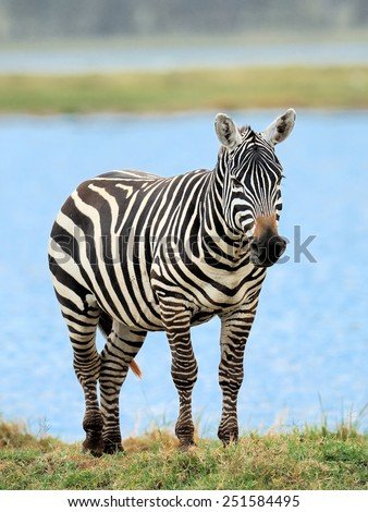 Zebra in the lake of the National Park. Africa, Kenya - stock photo