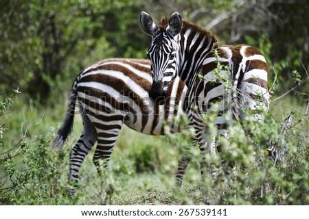 Zebra in the Masai Mara National Park (Africa) - stock photo