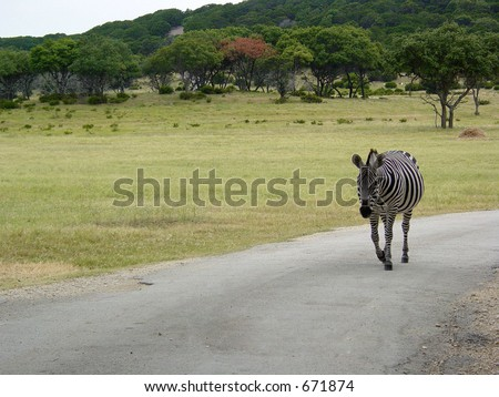 Zebra in the Road - stock photo