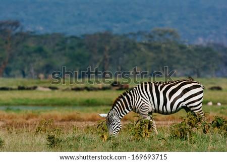 zebra in the savanna - stock photo