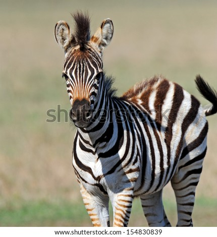 Zebra in the southern steppes