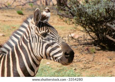 Zebra in the wild - stock photo
