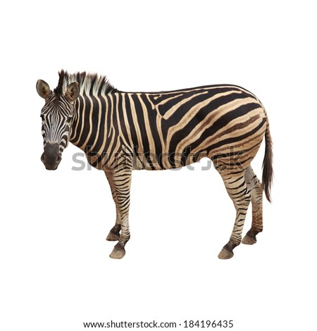 Zebra isolated on white.Clipping path. - stock photo