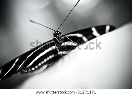 Zebra longwing butterfly abstract - stock photo