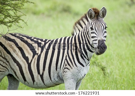 Zebra looking into camera in Umfolozi Game Reserve, South Africa, established in 1897 - stock photo