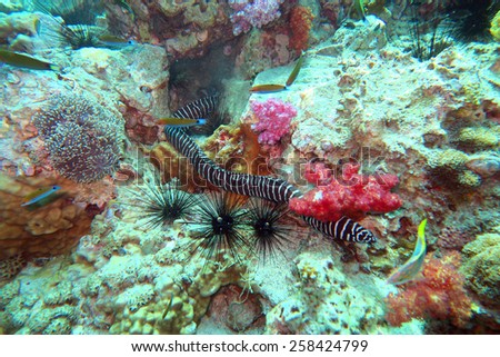 zebra moray eel - Gymnomuraena zebra - on the coral reef in Phuket,Thailand - stock photo