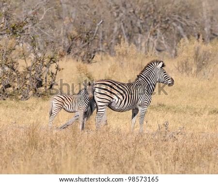 Zebra mother and colt in Moremi game reserve in Botswana, Africa - stock photo