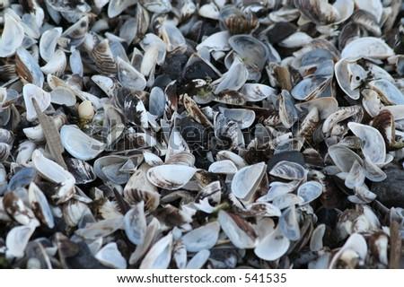 Zebra Muscle Shells - stock photo