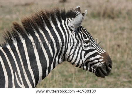 Zebra, Ngorongoro Crater, Nature Reserve in Tanzania, East Africa