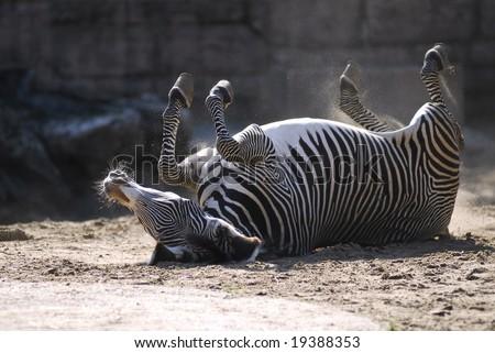 Zebra of Grevy on his back - stock photo