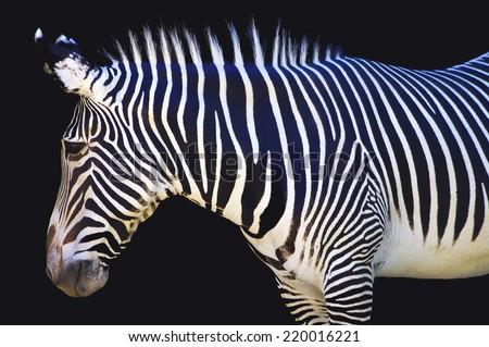 Zebra on black - stock photo