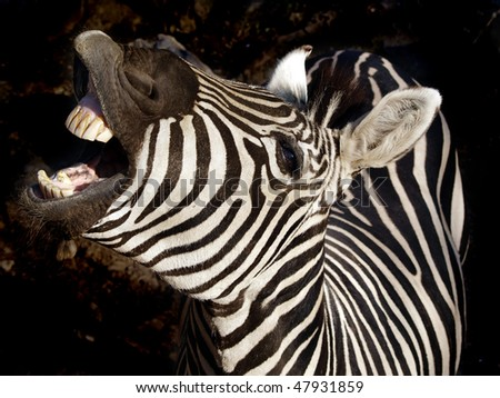 zebra on dark background - stock photo