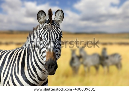 Zebra on grassland in Africa, National park of Kenya - stock photo