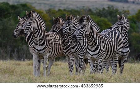 Zebra on high alert - stock photo