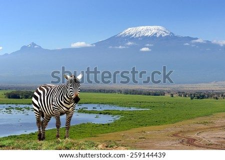 Zebra on Kilimanjaro mountain background in National Park. Africa, Kenya - stock photo