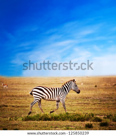 Zebra on savanna, Africa. Safari in Serengeti, Tanzania
