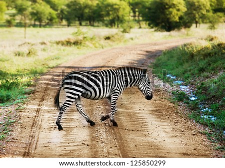 Zebra on savanna crossing the road, Africa. Safari in Serengeti, Tanzania