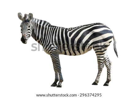 Zebra  on white background - stock photo