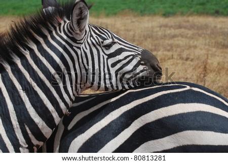 Zebra Pals - stock photo