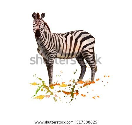 Zebra portrait on white.  - stock photo