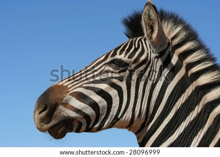 Zebra portrait with blue sky in background - stock photo
