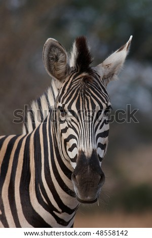 Zebra portrait with small piece of grass in mouth
