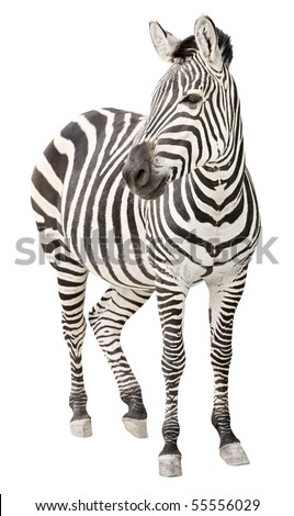 Zebra pregnant two days before foal birth front view looking isolated on white background - stock photo