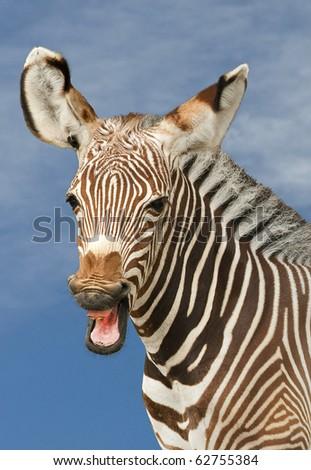 Zebra Profile - stock photo