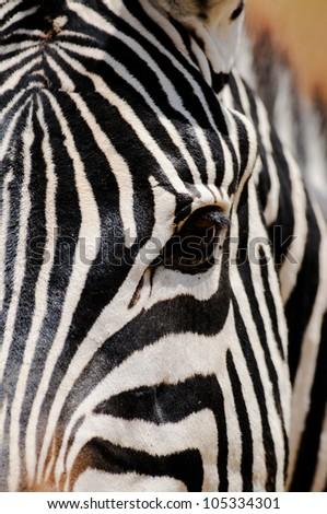 Zebra Profile, Kenya. - stock photo