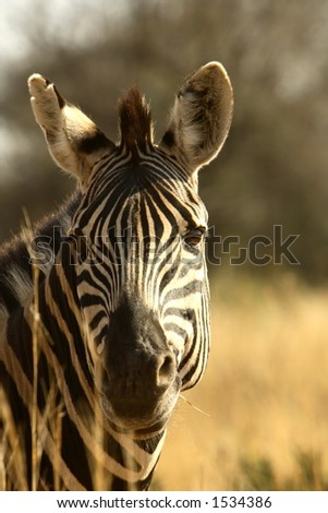 Zebra profile, Pilanesburg National Park, South Africa