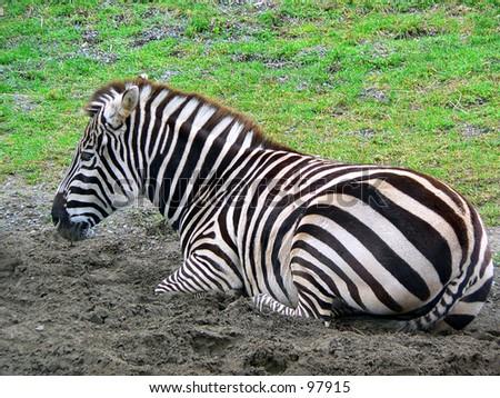 Zebra resting at the San Francisco Zoo - stock photo