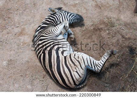 Zebra rolling in the dust - stock photo