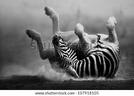 Zebra rolling in the dust (Artistic processing) - stock photo