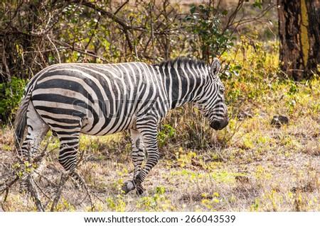 Zebra runs in Kenya - stock photo