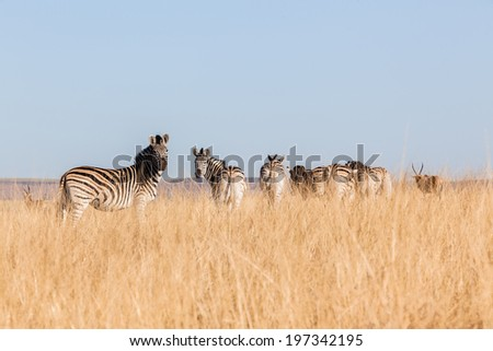 Zebra's Alert Grasslands Wildlife Zebra herd alert in winter grasslands wildlife animals in their habit wilderness reserve terrain. - stock photo